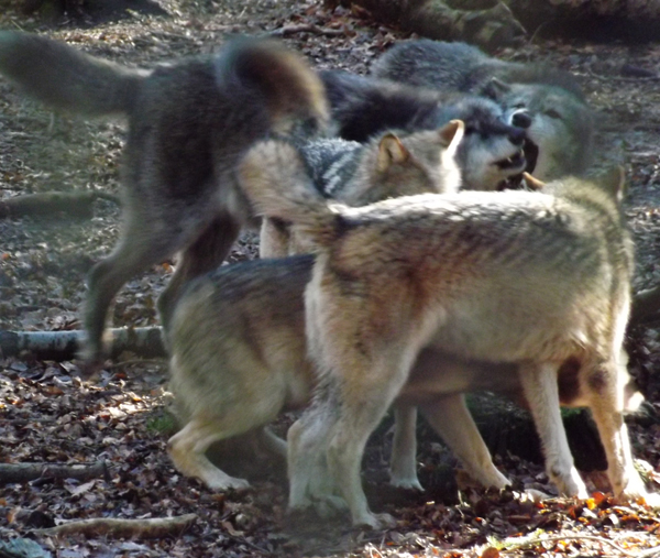 Check out all the interesting body language going on in this captive wolf pack. The especially dark animal near the middle is presumably an 'alpha'. Image: Darren Naish.