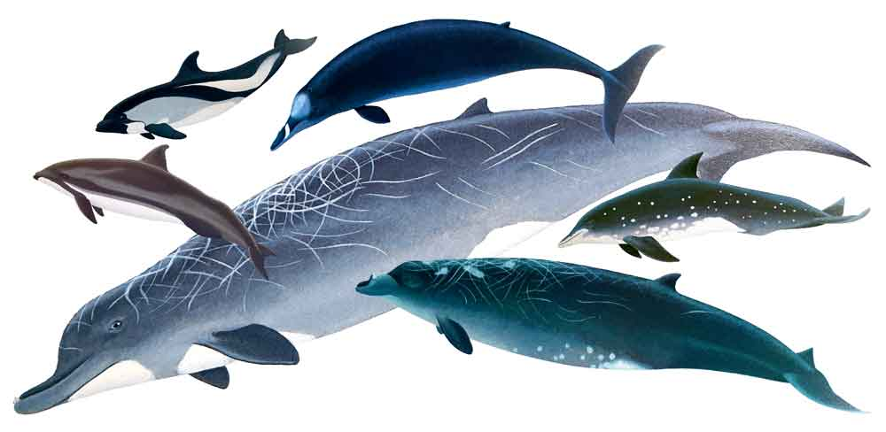 Several of Ritchie's whales, composited together (it might be obvious that I especially like beaked whales). Clockwise from upper left, we're seeing Fraser's dolphin  Lagenodelphis hosei , Peale's dolphin  Lagenorhynchus australis , Strap-toothed whale  Mesoplodon layardii , Rough-toothed dolphin  Steno bredanensis  and Blainville's beaked whale  M. densirostris ; Baird's beaked whale  Berardius bairdii  is the big animal in the background. Images: Tom Ritchie/  Watson 1981  .