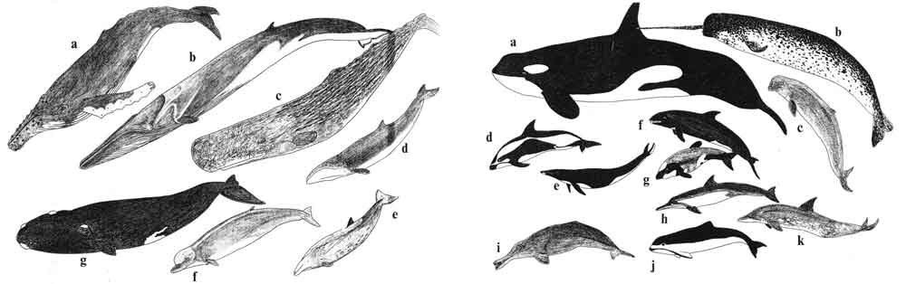My own whale illustrations - these were produced for various articles published back in the 1990s - were heavily inspired by those of Tom Ritchie. The originals of these illustrations appear to be lost today, so I have to draw them all anew for my in-prep textbook. Image: Darren Naish.