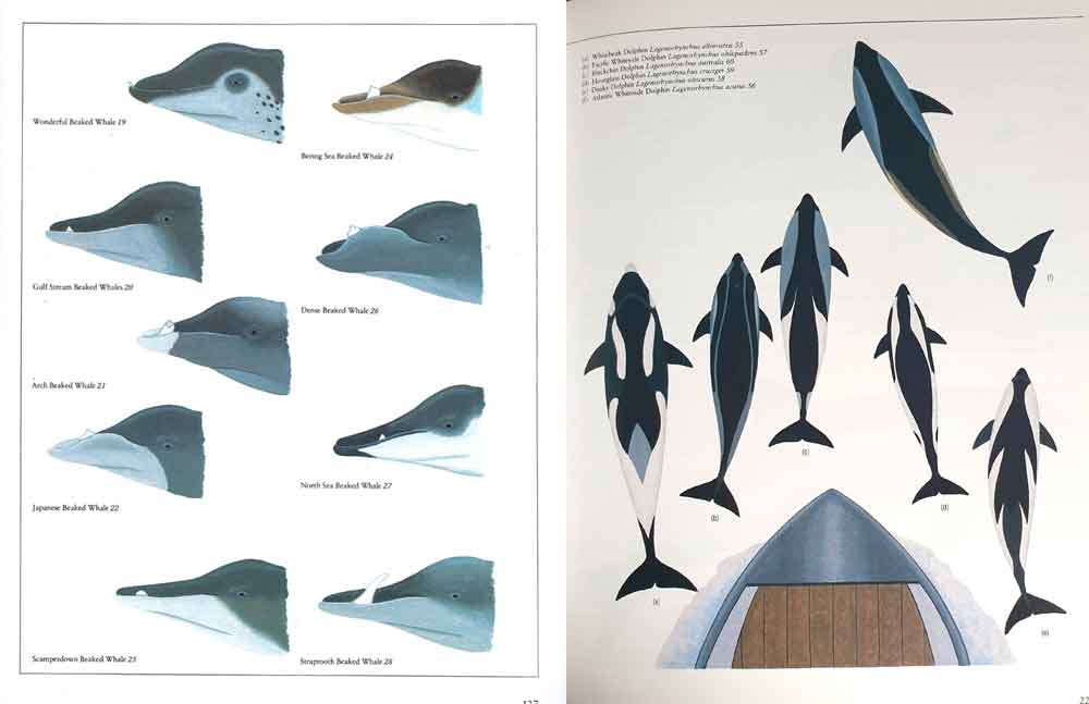Watson's  Whales of the World    includes various montage illustrations like this, which depict the field signs and characteristic markings of groups of species. The pictures look great. However, it has been argued that some of the details shown here are not wholly reliable (read on). Images: Tom Ritchie/  Watson 1981  .