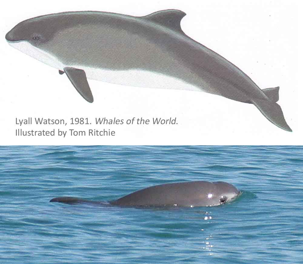 Ritchie's Vaquita - at top - is apparently the first published full-body depiction of this animal's life appearance. Below, a photo of a Vaquita in life. Extinction looms for this small cetacean. Images: Tom Ritchie/Watson 1981, Paula Olson/NOAA, in public domain ( original here ).