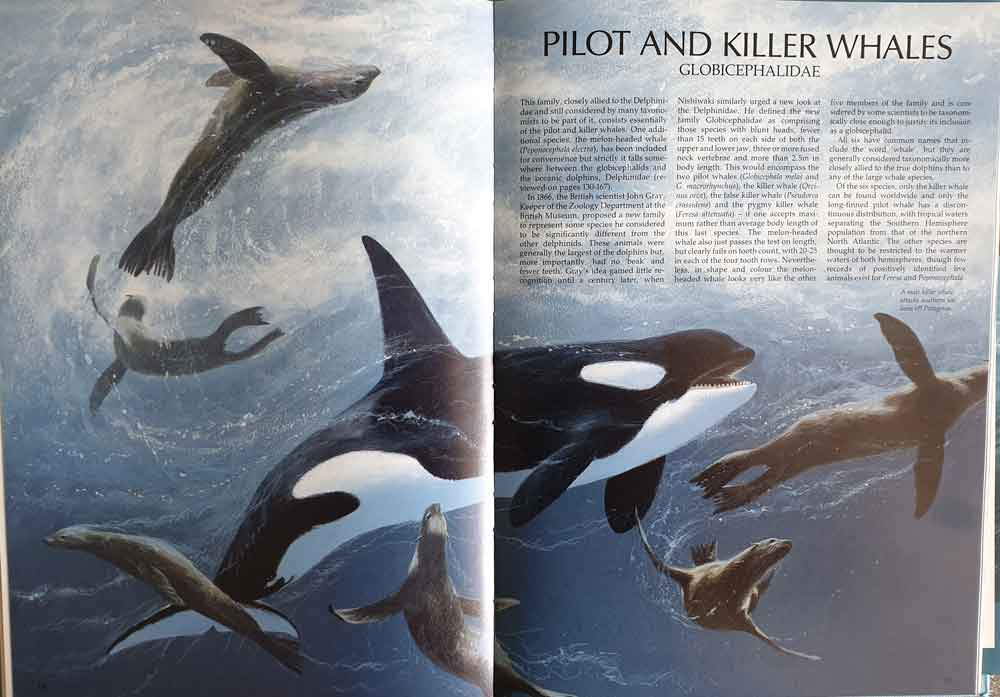 Watson (1981)   wasn't the only popular volume of the late 20th century to adopt some aspects of 'non-traditional' taxonomy. Anthony Martin  et al .'s 1990  Whales and Dolphins  also includes a globicephalid section (  Martin 1990  ), which opens with this fantastic artwork (by Bruce Pearson). Image: Bruce Pearson/  Martin 1990  .