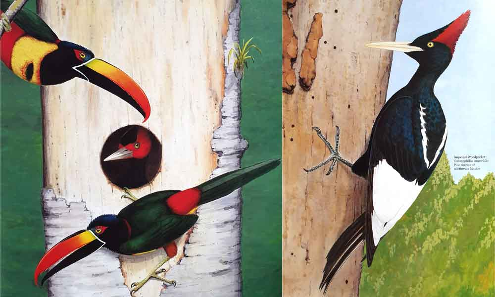 Left: Fiery-billed aracari ( Pteroglossus frantzii ) vs Pale-billed woodpecker ( Campephilus guatemalensis ). Right: Imperial  Campephilus imperialis . Just two of the many excellent illustrations by Dana Gardner included in   Skutch (1985)  . Image: Dana Gardner/  Skutch (1985)  .