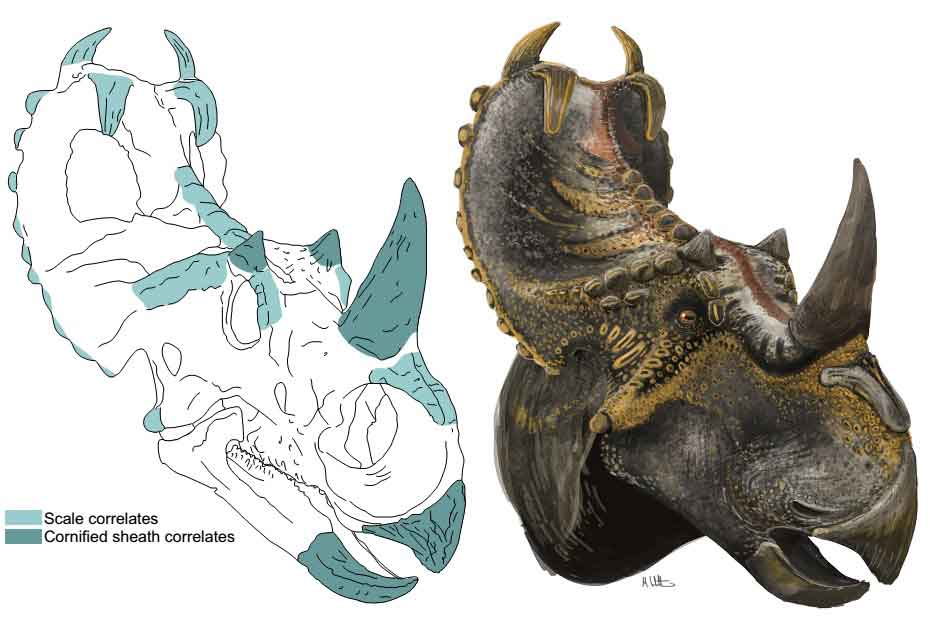 Extensive sections of   Witton (2018)   discuss osteological correlates for external texture and other features. In some cases - like ceratopsian dinosaurs - there are many such correlates. Image: (c) Mark Witton/  Witton (2018)  .