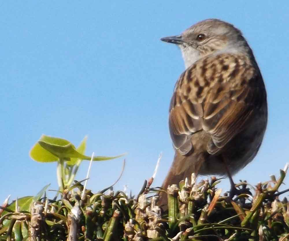 I've never found Dunnocks especially easy to photograph… but, then, I could say that about most of the birds I've tried to photograph. This one is living up to one of its vernacular names and standing on top of a (recently trimmed) hedge. Image: Darren Naish.