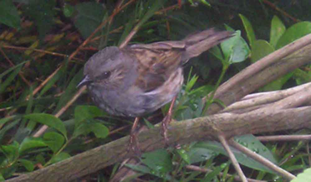 Dunnocks are often seen in undergrowth, and thus in poor light. This photo (from 2006) shows one of the birds that used to live in my garden. Image: Darren Naish.