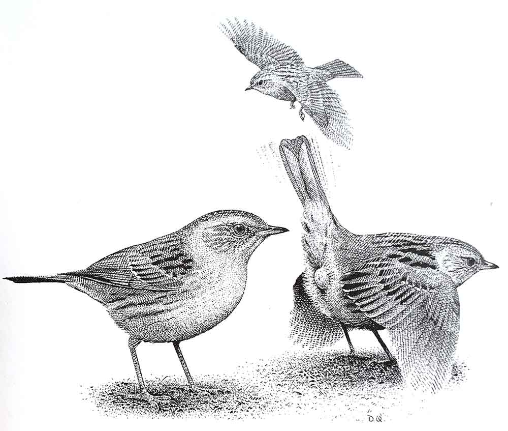 David Quinn's excellent illustration, showing the female's precopulatory display. Image: (c) David Quinn. This drawing has appeared in   Davies (1992)   and   Birkhead  et al . (2014)  .