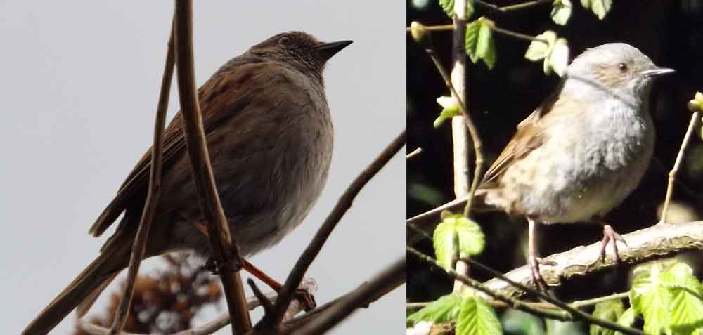 Dunnocks encountered in the UK. The most striking plumage feature of this bird - the prominent streaking on its mantle and flanks - is not obvious in all views. Image: Darren Naish.