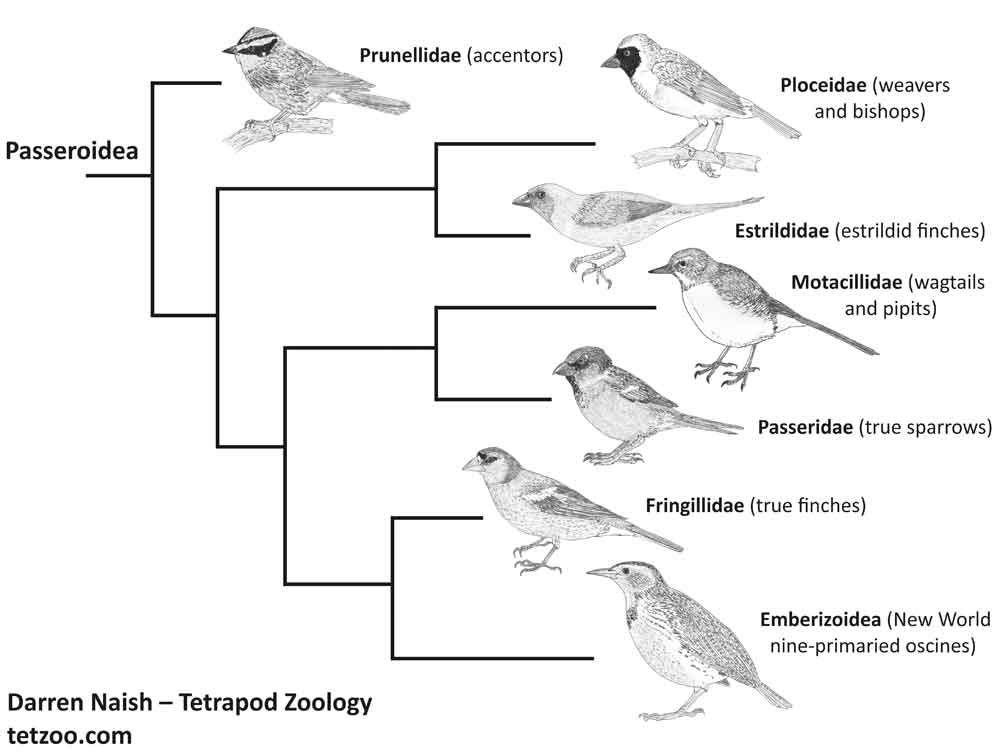 Substantially simplified cladogram of passeroid passerines, showing some of the main lineages. Accentors are close to true sparrows, wagtails and pipits and kin but are part of a paraphyletic assemblage of mostly thin-billed lineages (based on the phylogeny of Selvatti  et al . (2015)). This cladogram uses images produced for my STILL in-prep textbook on the vertebrate fossil record,   on which go here  . Image: Darren Naish.