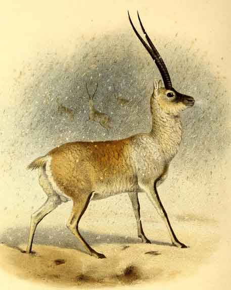 Could the 'unicorn' be a Chiru? I dunno, it doesn't seem like a good match. Image: Philip Sclater, public domain ( original here ).