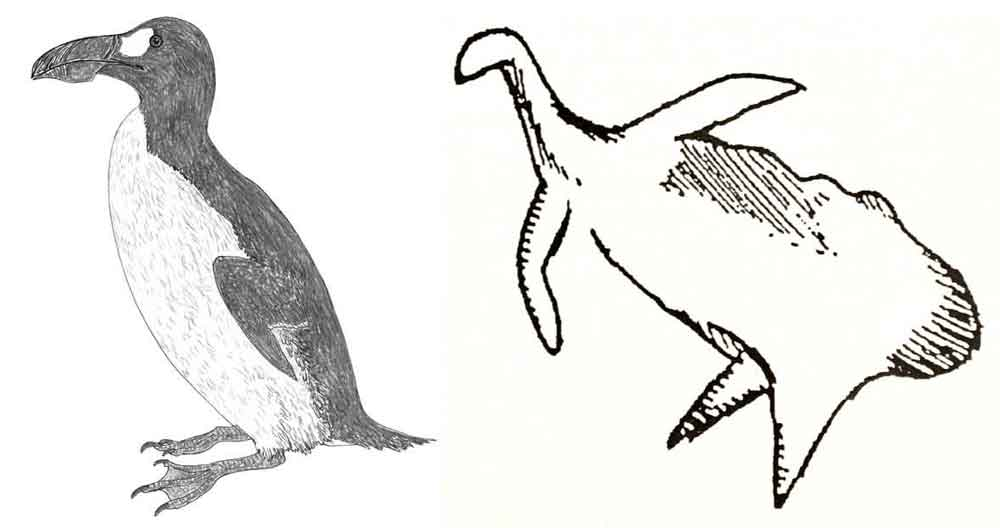 Is the Cosquer Cave animal really a depiction of a Great auk? Hmm, maybe… but the similarity isn't actually convincing. Images: auk by Darren Naish; Cosquer Cave animal from Mysterious Universe ( here ).