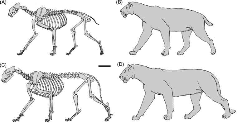 Antón  et al . (2009) argued that  Homotherium  (A, B) would differ noticeably from Cave lion (C, D) in proportions. The homothere has taller shoulders, a longer neck, a flatter head, and a more sloping back than a pantherine like a lion. Image: Antón  et al . 2009.