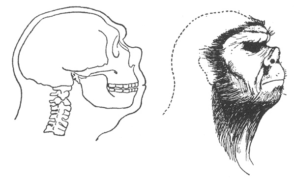 Heuvelmans and a few other authors argued that Neanderthals were bestial creatures with an enlarged upturned nose. I covered this whole take on Neanderthals in my review of   Heuvelmans (2016)  ,   here  . Image:   Heuvelmans 2016  .