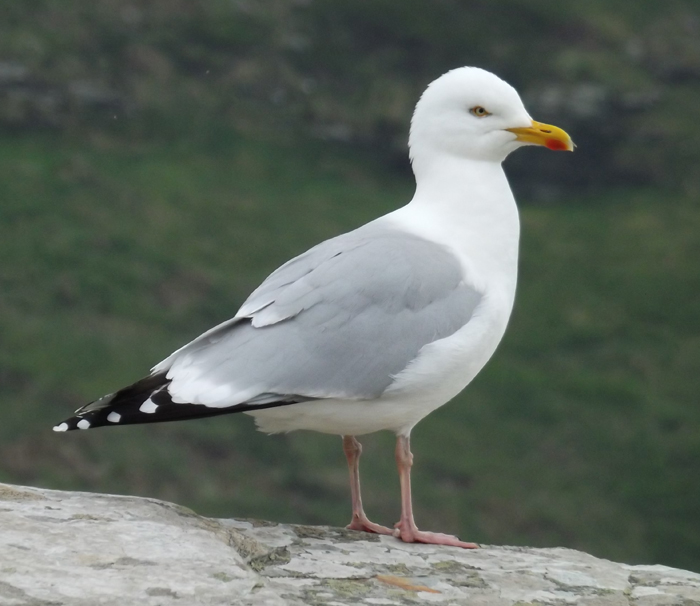White-headed gulls (those gull species remaining in the genus  Larus ) are good-looking birds, in cases with wingspans that exceed 1.3 m. This is a Herring gull (photographed in Cornwall, England) with an unusually shaped head. Image: Darren Naish.