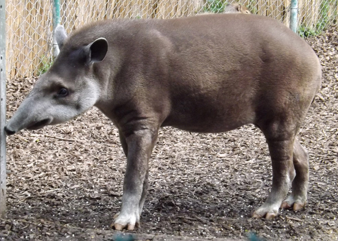 A  Tapirus terrestris  at Chester Zoo, UK. Relevant to tapir discussions   covered here in October 2018  . Image: Darren Naish.