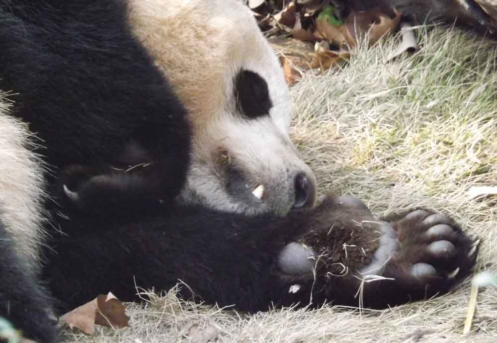 Sleep well, little, err, giant panda. From Chengdu Panda Base. Image: Darren Naish.