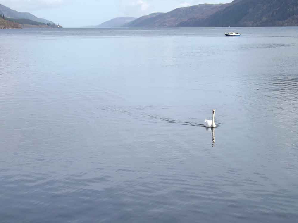 A Loch Ness scene, fortuitously featuring a waterbird (in this case, a Mute swan  Cygnus olor ) and a boat. Both objects have undoubtedly contributed in no small part to the phenomenon known as the Loch Ness Monster. Image: Darren Naish.