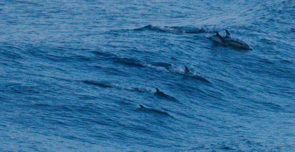 As the light begins to fade during the later part of the day, a group of Short-beaked common dolphin carve through a surging wave. Note the calf close to the adult at upper right. Image: Alex Srdic.