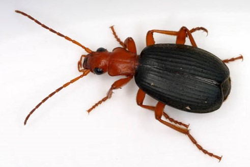 Some creationist authors have argued that certain dinosaurs could have functioned just like the living bombadier beetles AND SPEWED FIRE!!!!1! One minor issue: bombadier beetles don't spew fire, they eject hot liquid. Image: Patrick Coin, CC BY-SA 2.5 ( original here ).