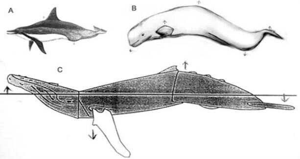 S-shaped postures, depicted (sometimes schematically) in cetaceans of very different sizes and proportions, from Horback  et al . (2010). (A) Spinner dolphin, (B) Beluga, (C) Humpback whale. Evolve dorsal and ventral convexities on the body and tailstock, and you can exaggerate the intensity of this signal. Image: Horback  et al . (2010).