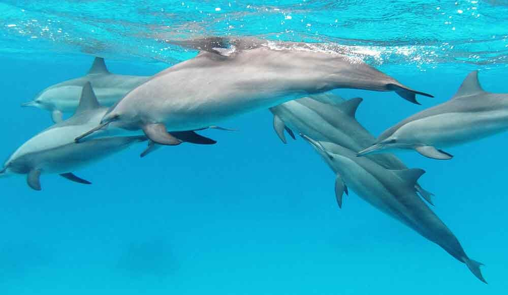 A nice, normal looking group of Spinner dolphins. The obvious dark cape and paler side regions make these look like Hawaiian spinners but they were apparently photographed in the Red Sea. Image:  Alexander Vasenin , CC BY-SA 3.0, wikipedia ( original here ).