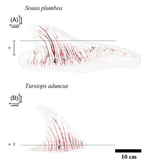 (A) Vasculature in the dorsal fin and hump of a humpback dolphin compared with (B) dorsal fin vasculature in a  Tursiops  dolphin. The blood vessels in  Tursiops  are proportionally larger, but there's a great number of them in the humpback dolphin, thanks to the hump. Image: Plön  et al . 2018.