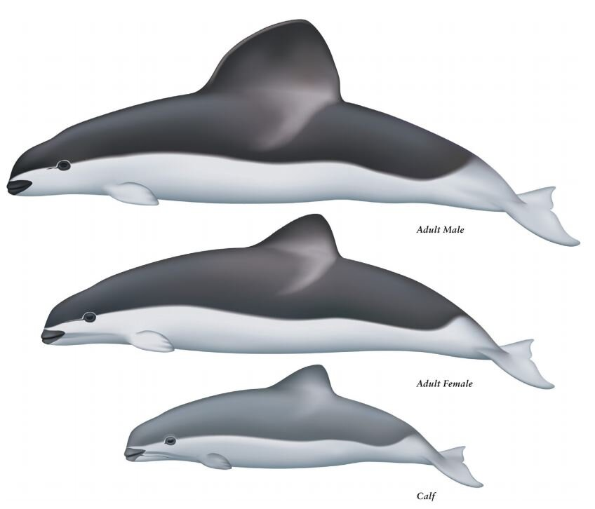 Male, female and juvenile Spectacled porpoise, as illustrated by Uko Gorter for Natalie  et al . (2018). The remarkable size of the male's dorsal fin is obvious. Image: (c) Uko Gorter/Natalie  et al . (2018).