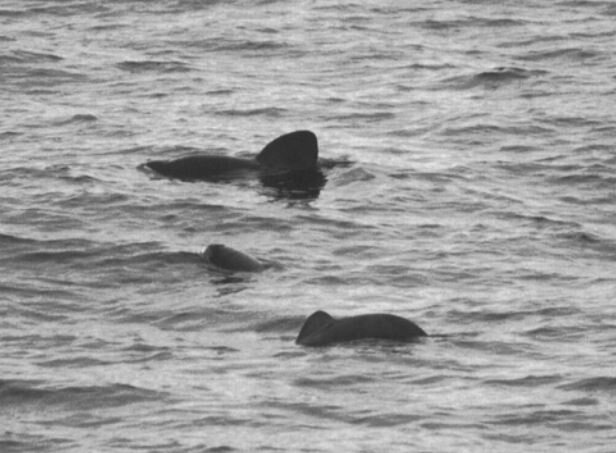 Spectacled porpoises photographed in the wild, in the Southern Ocean, in 2001. A male is at back, an adult female is closest to us, and a calf is in the middle. Image: Sekiguchi  et al . (2006).