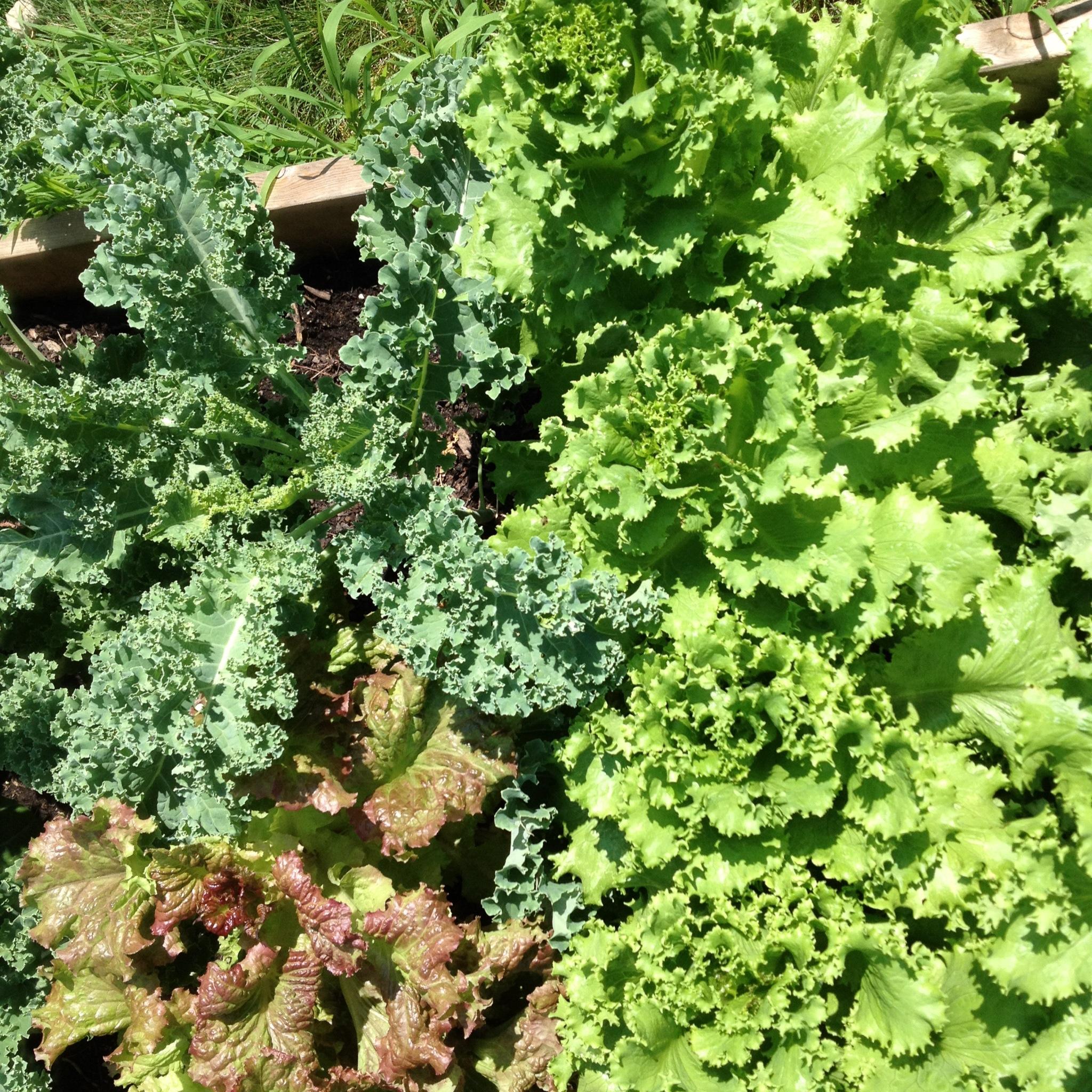 Leaf lettuce.