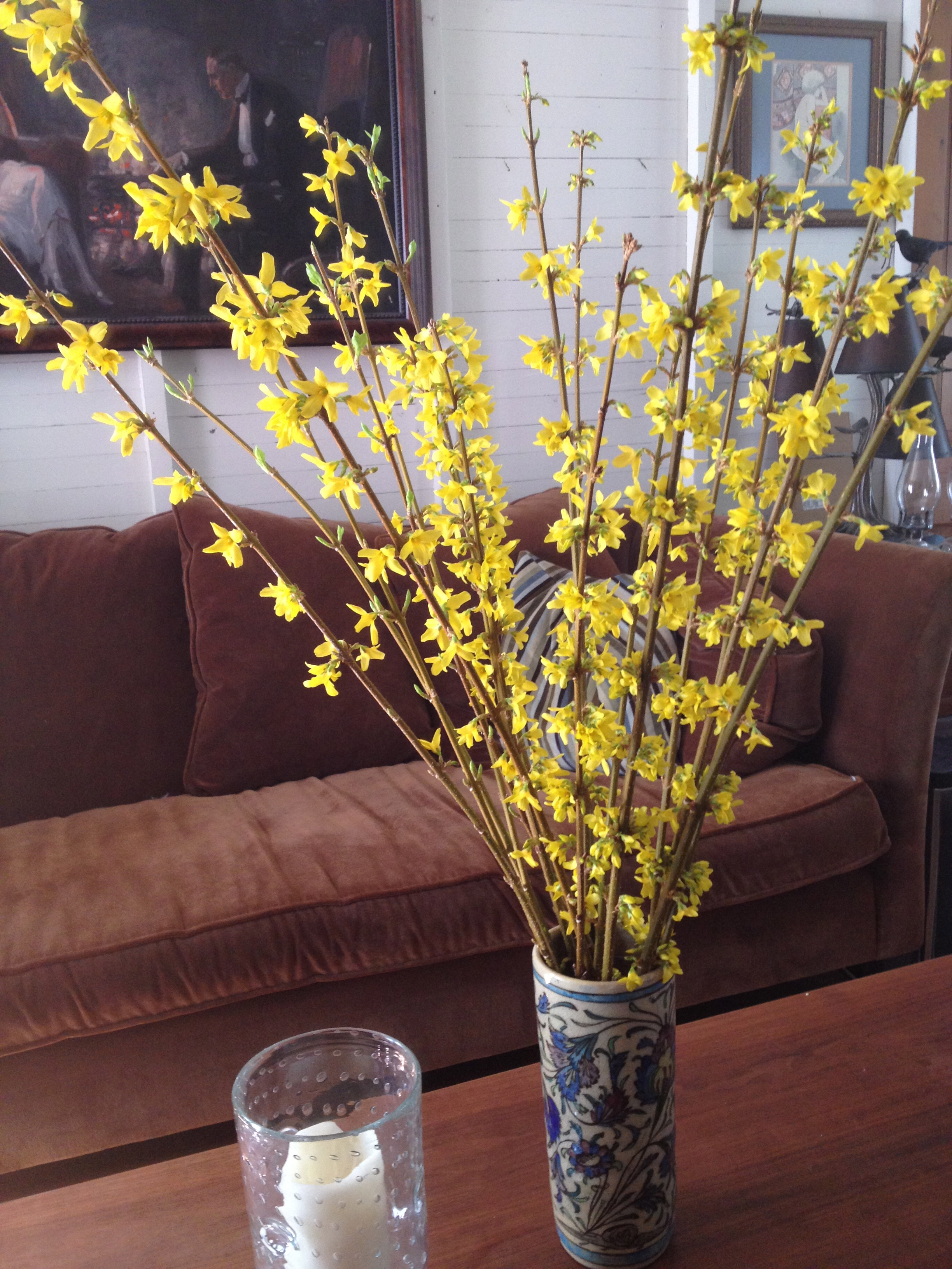 Forsythia in full bloom!