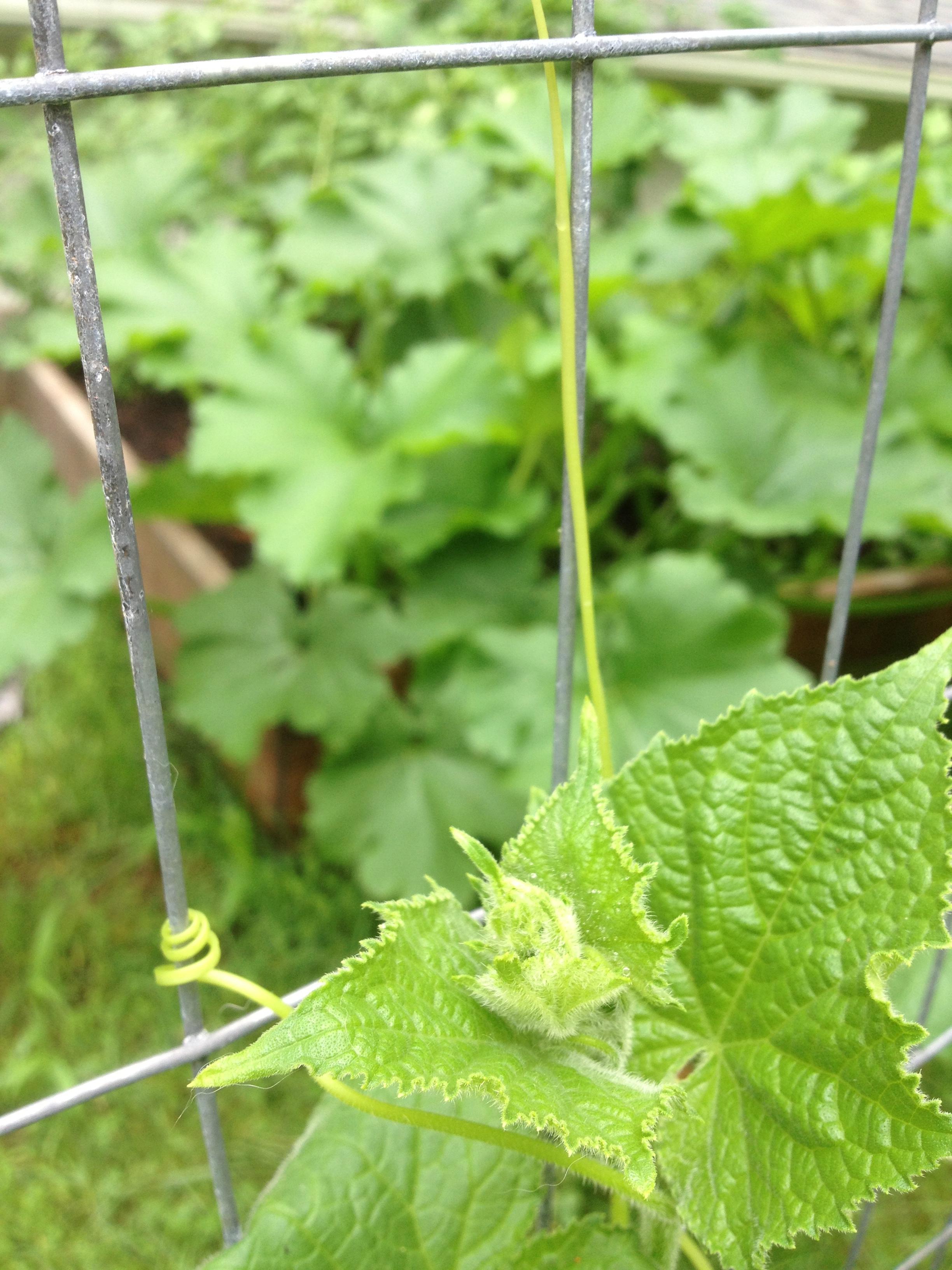 Cucumber tendrils.