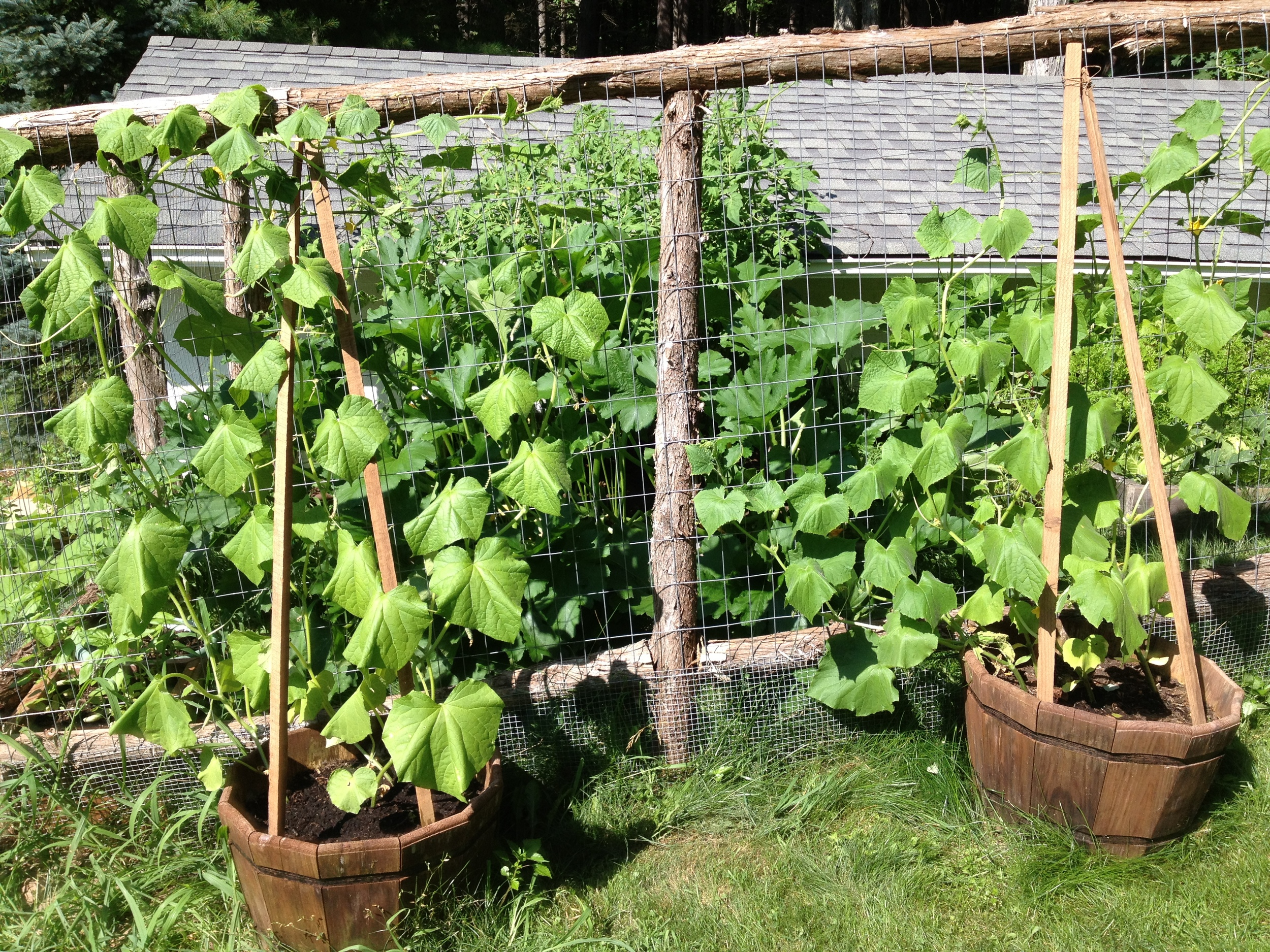Cucumber plants climbing all over the fence.