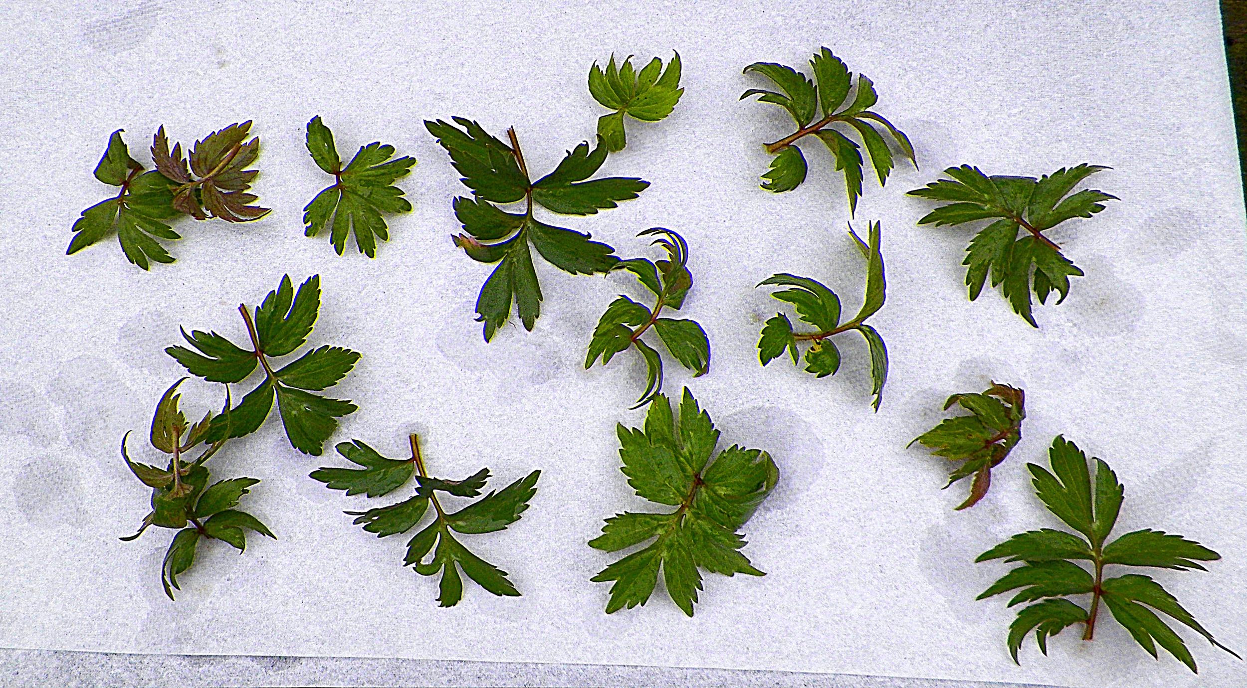 Virginia Waterleaf leaves, the primary edible part.