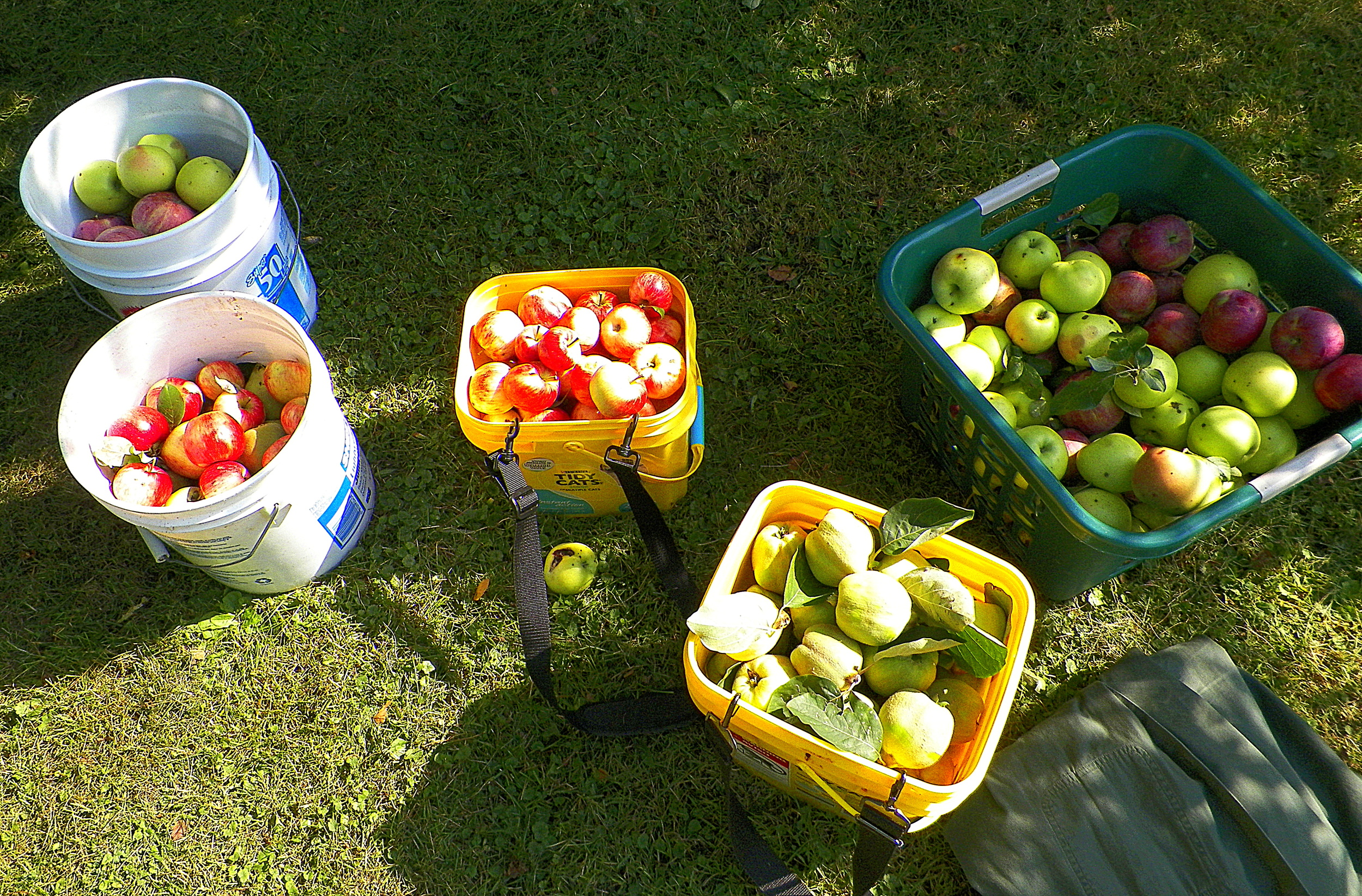 foraged apples and quince  9-23-13.JPG