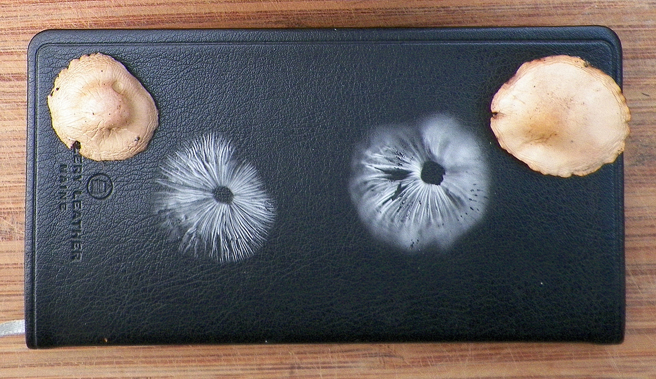 Close-up of fairy ring spore prints. Click to enlarge.