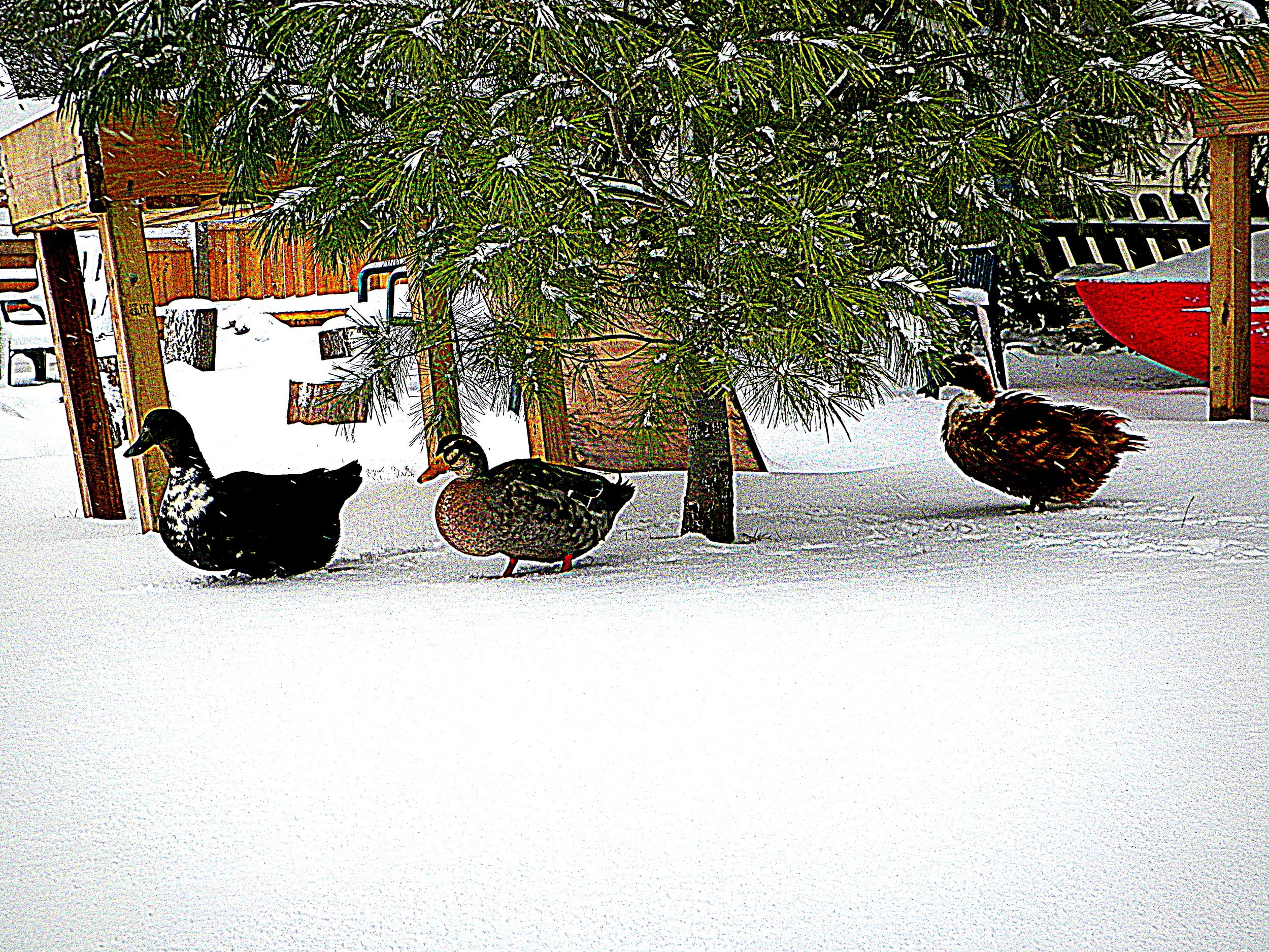 Ducks winter III  1-30-13.JPG