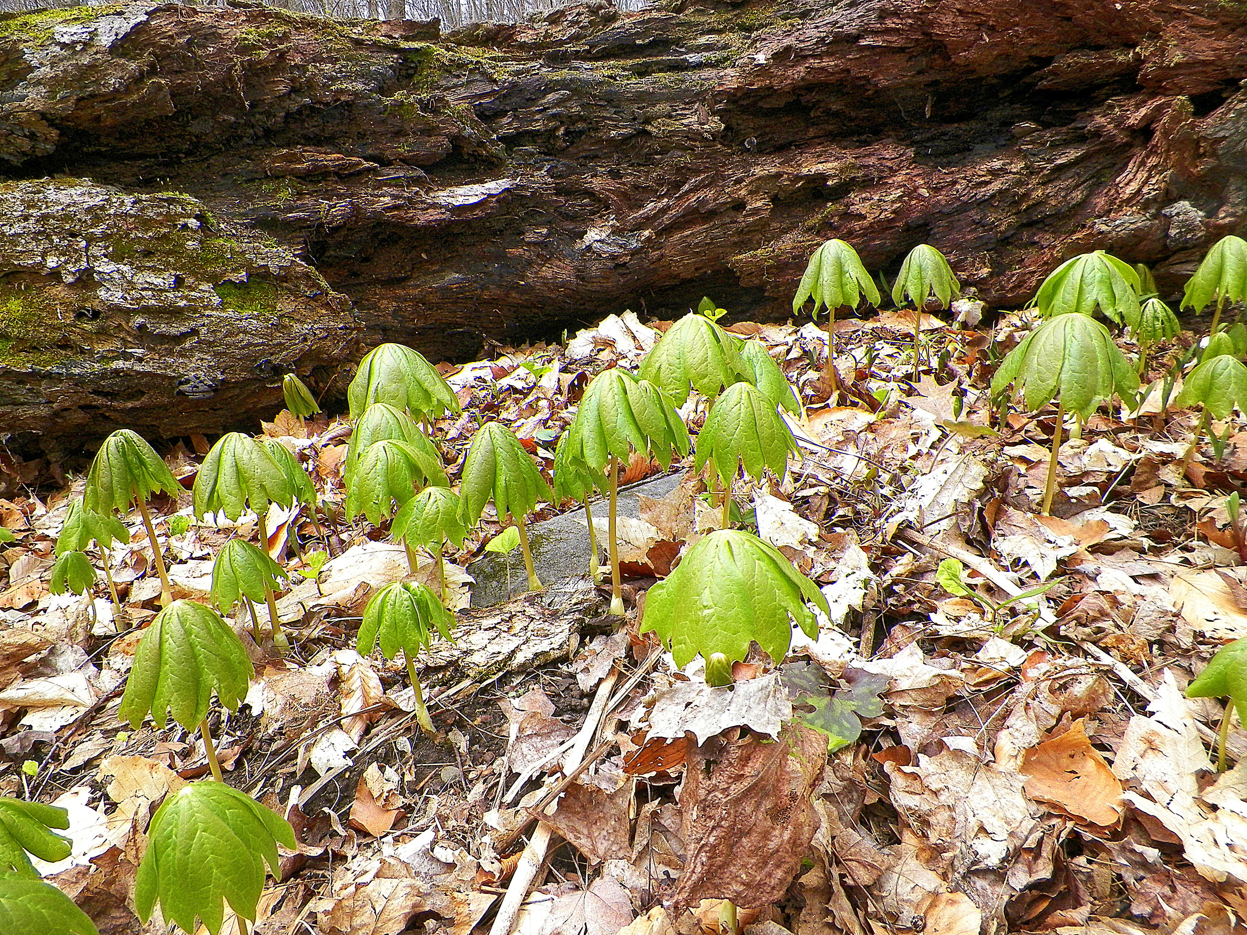 Mayapples bursting forth!