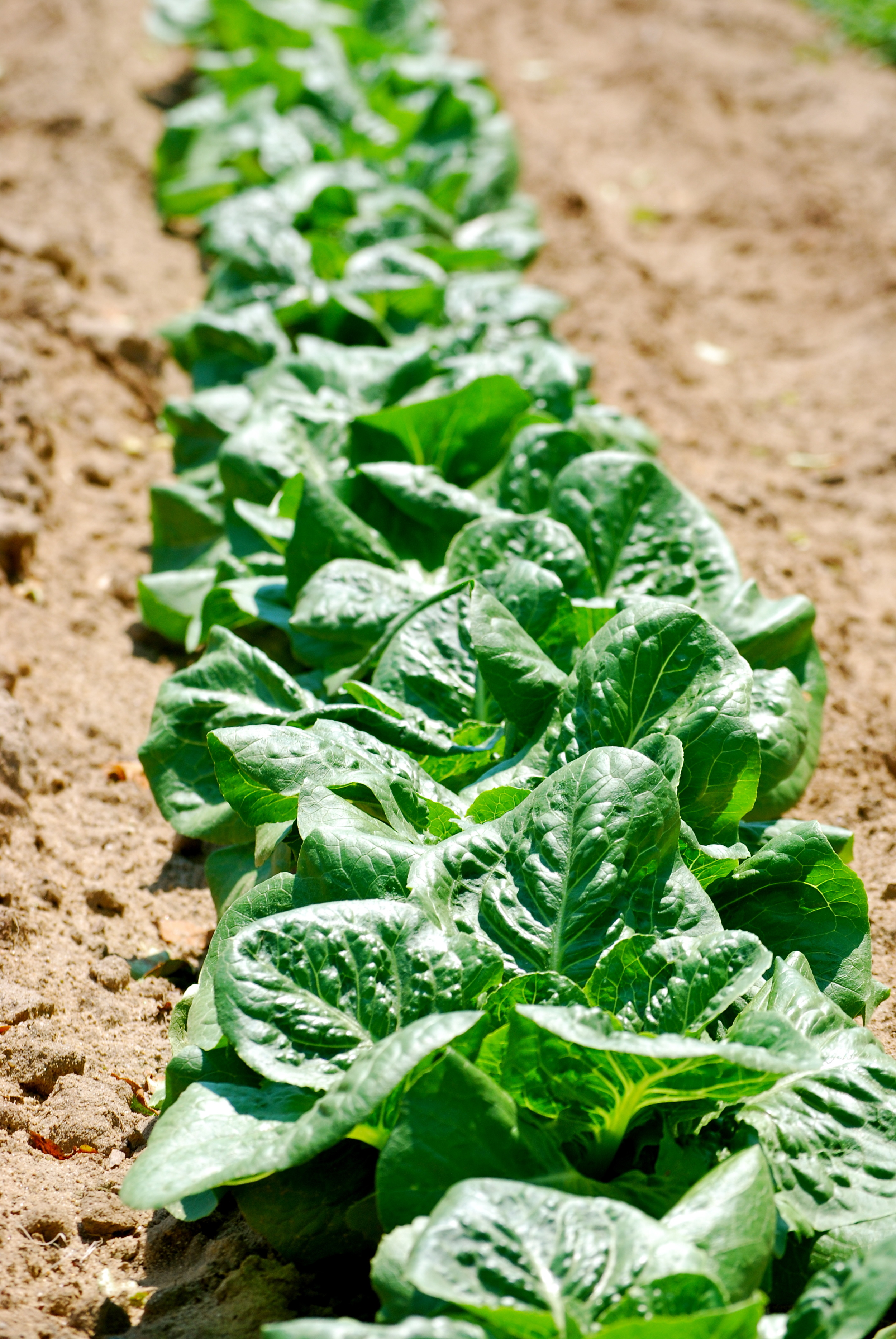 Romaine Lettuce: From Our Farm - Hearty and Crisp