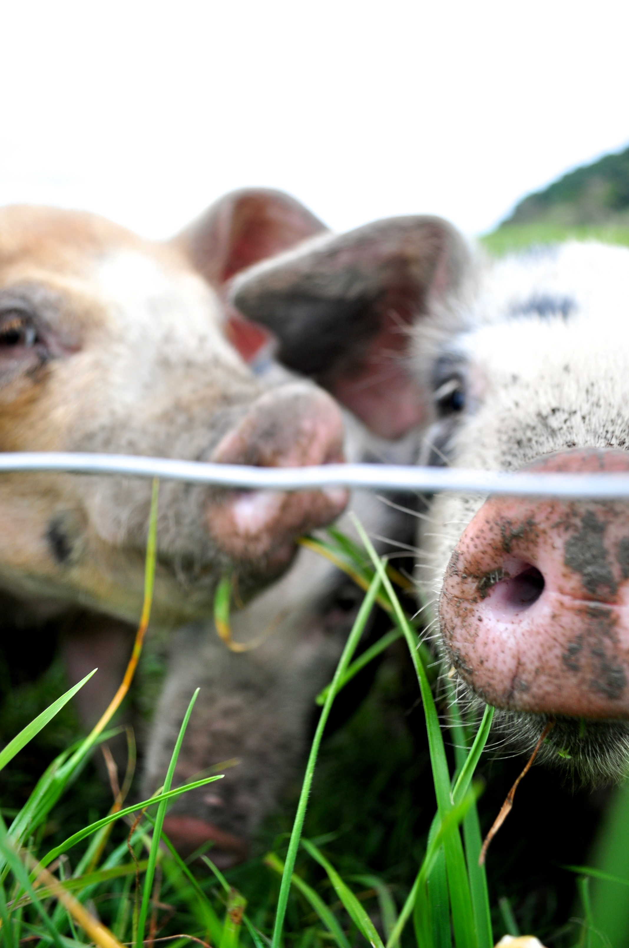 Happy pigs who live outdoors are loaded with vitamin D- this is the most concentrated and natural way for us to get this important nutrient!