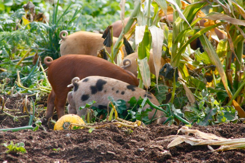 pastured animals are the best way to go when it comes to self-nourishment & serving our planet