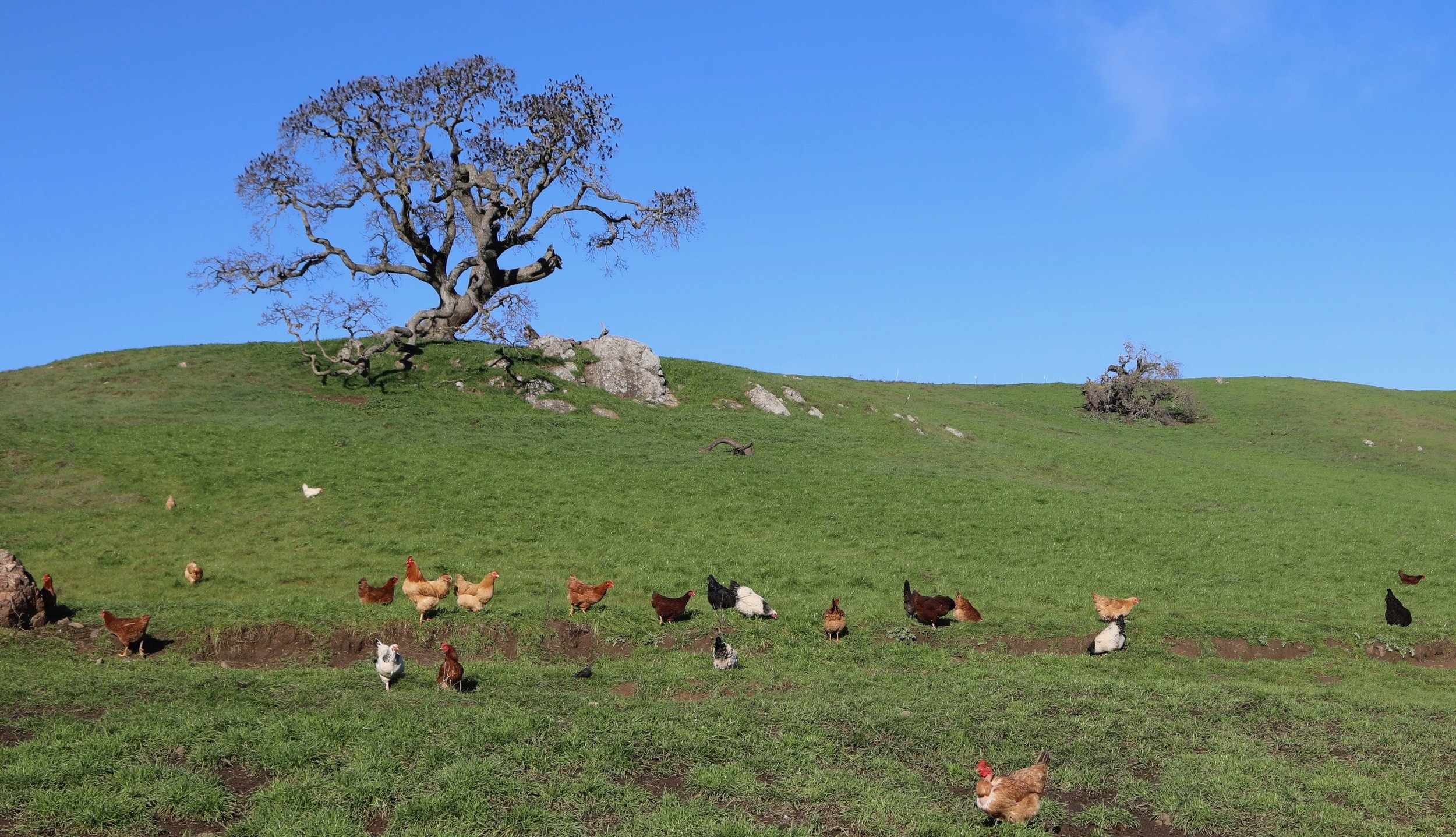 Happy Chickens On Pasture! These are Pasture Raised!
