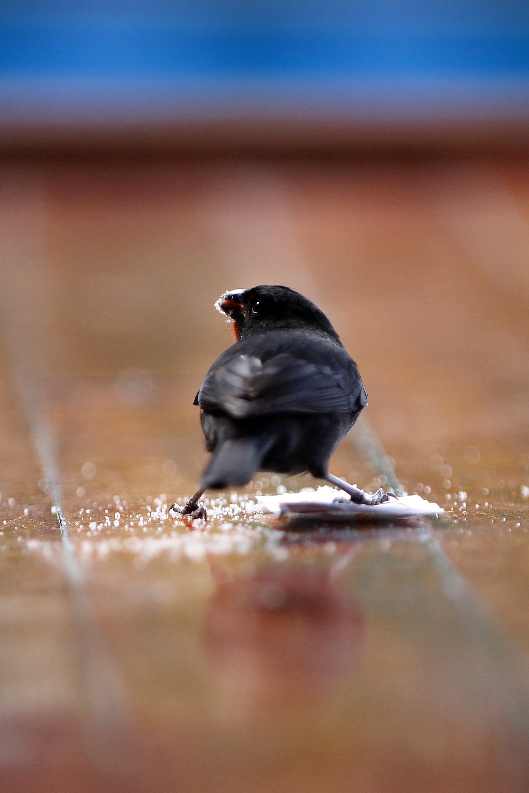 2015-12-18_St_Lucia_Ladera_Birds_Pu.Ying.Huang 0088.jpg