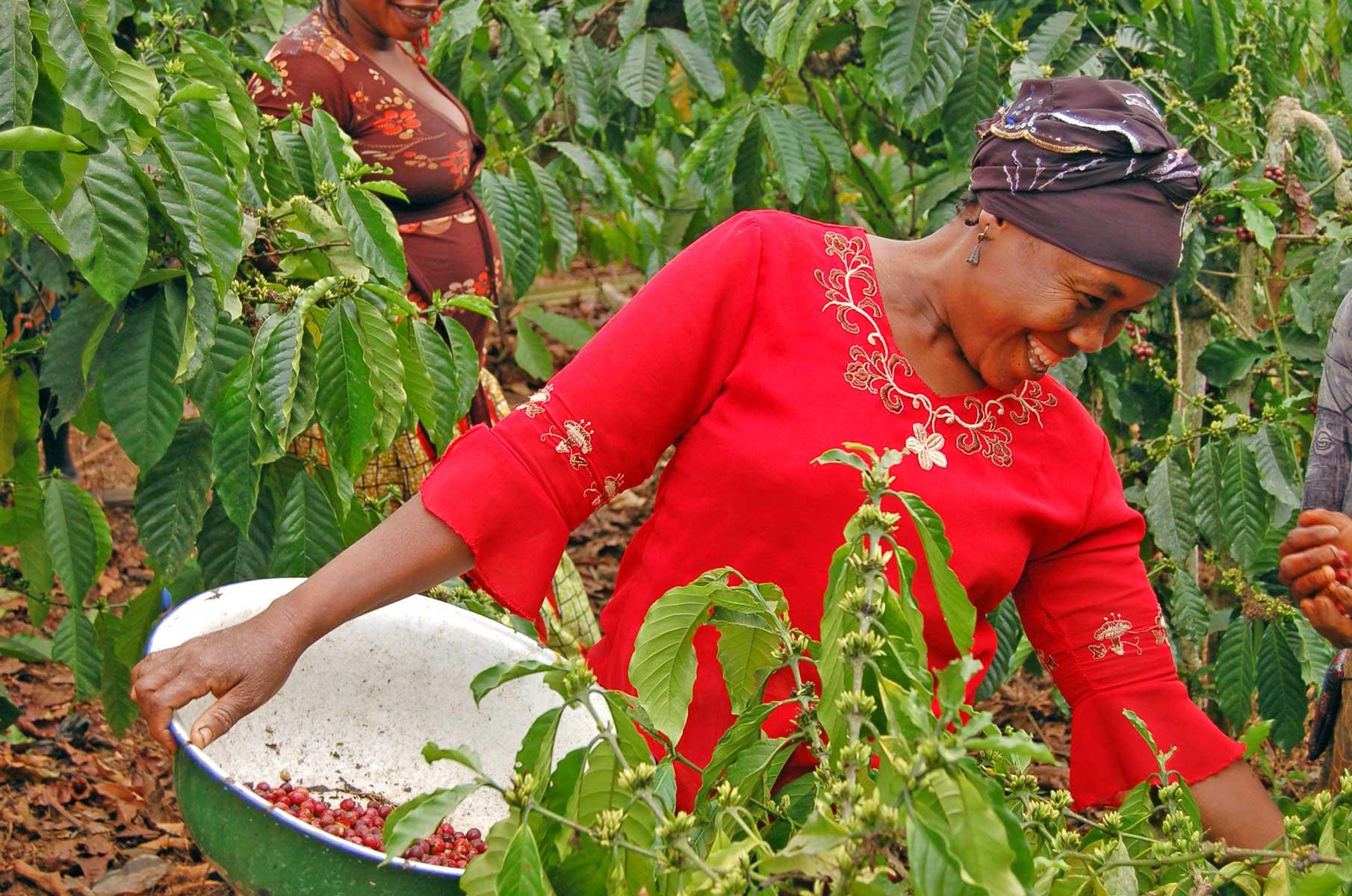 cafépierreandré_récolte_picking_cameroun