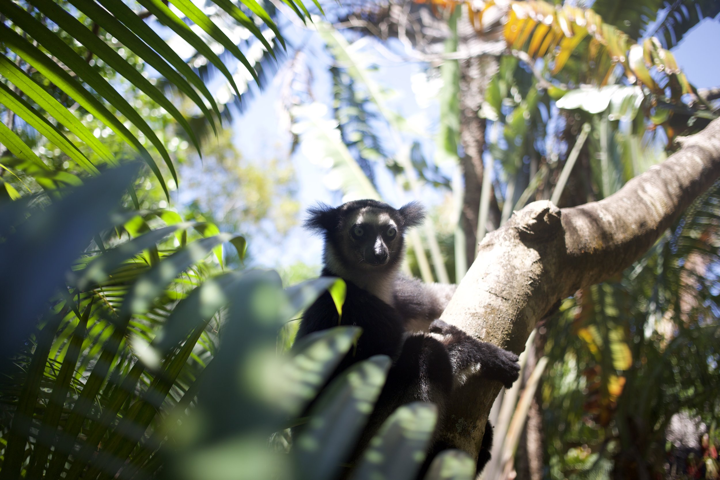 Species like the lemur are experiencing habitat loss at an alarming rate. Four species of lemur have been extinct since the mid-twentieth century