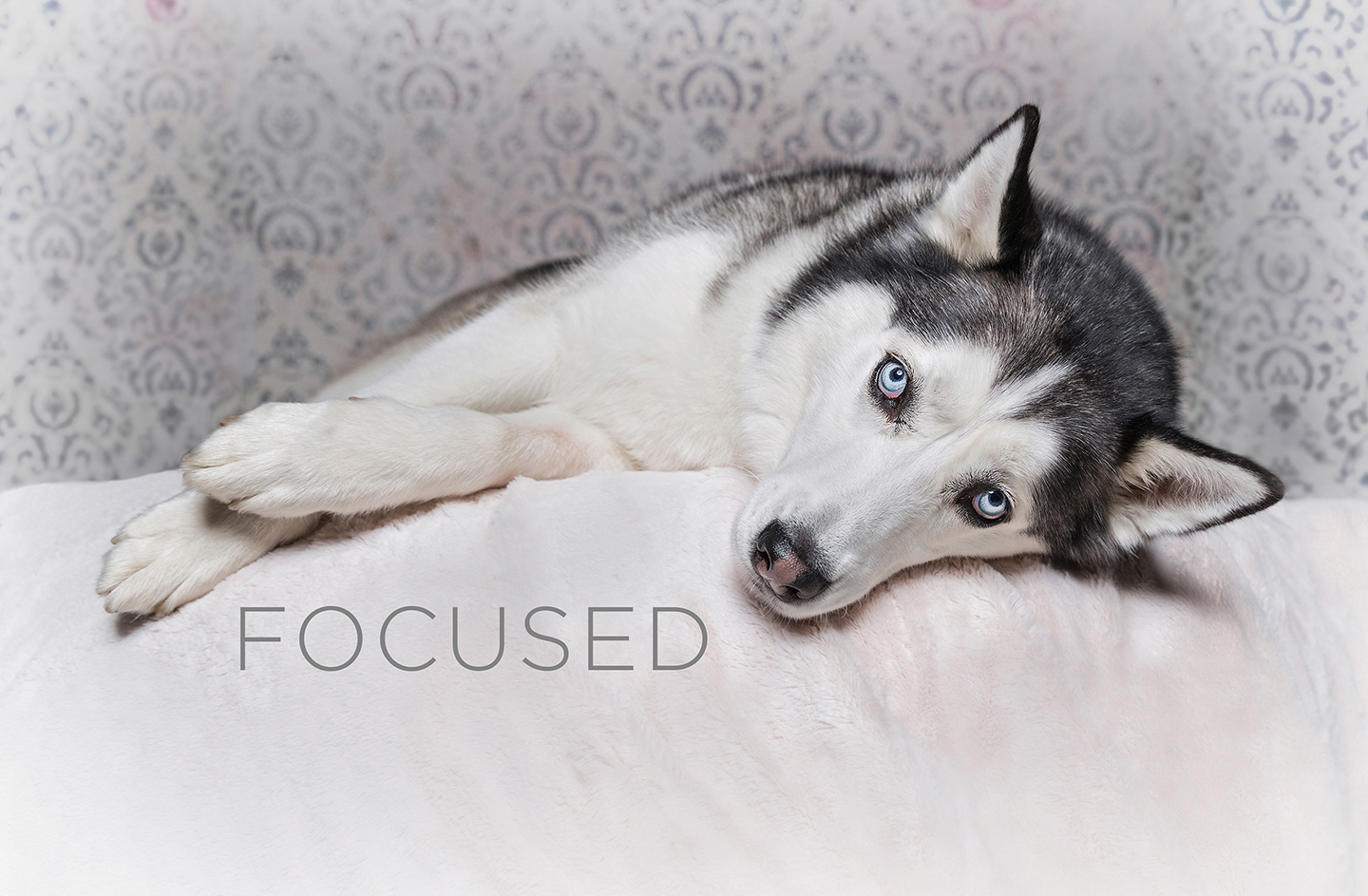 Husky Portrait - Focused.jpg