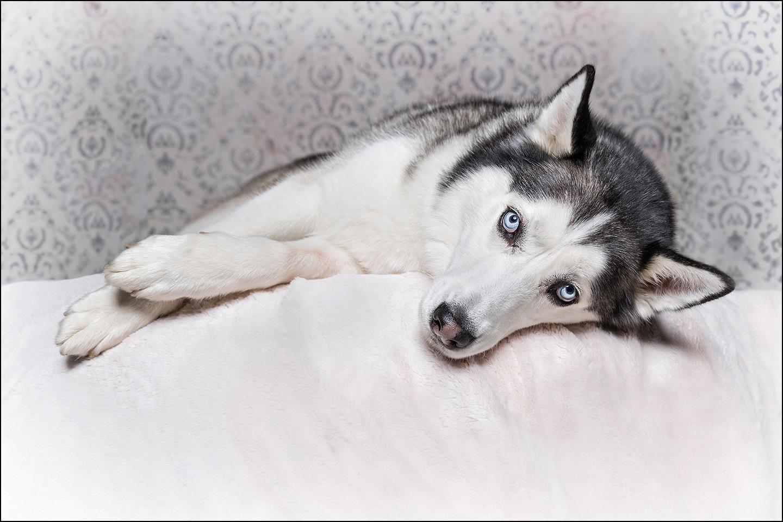 Dog Portrait Husky 01.jpg
