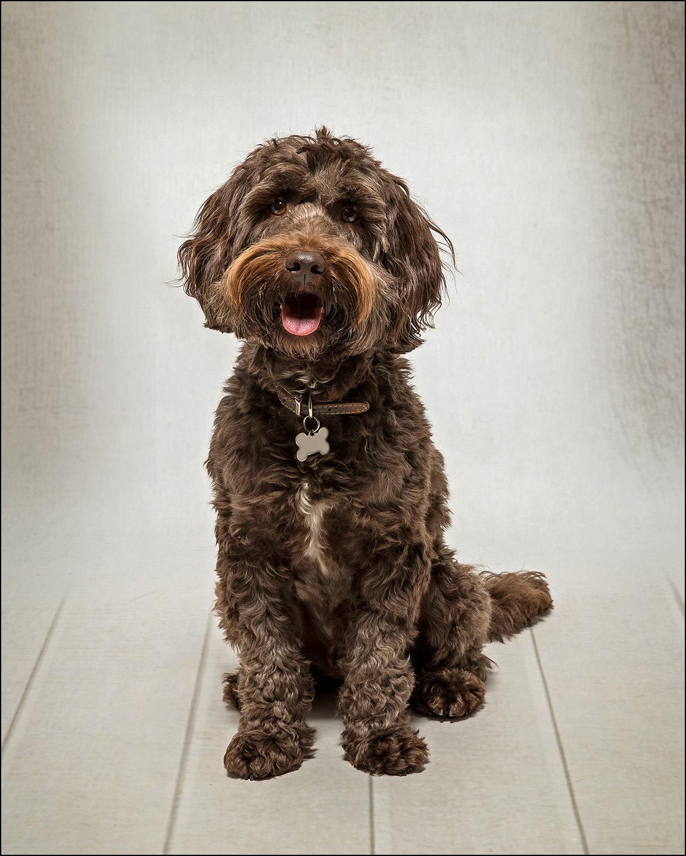 Dog Portrait Labradoodle 01.jpg