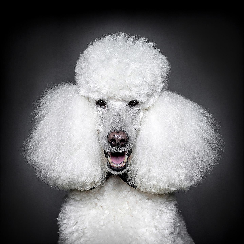 Dog Portrait Standard Poodle 01.jpg