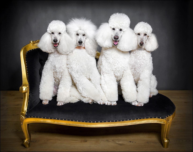 Dog Portrait Standard Poodles 03.jpg