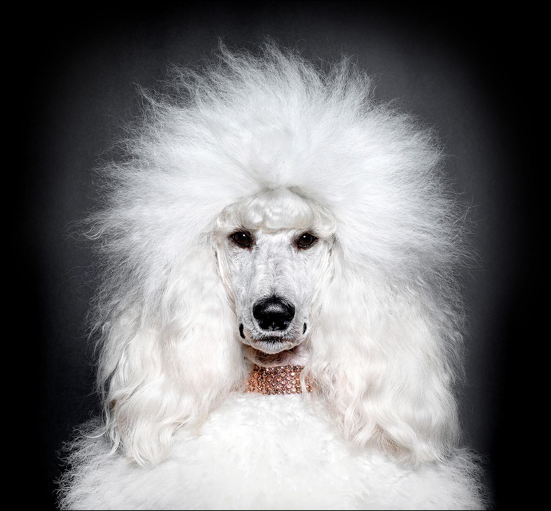 Dog Portrait Standard Poodle 02.jpg